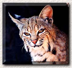 This is a photograph of a bobcat.