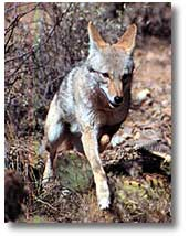 The is a photograph of a coyote.