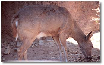 This is a photograph of a white-tailed deer.