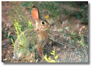 This is a photograph of a cottontail rabbit.